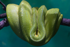 Emerald Boa Snake (Jemlnlx) Tags: canon eos 5d mark iv 5d4 5div syracuse new york state ny nys rosamond gifford zoo ef 70200mm f4 l is usm zoom telephoto lens boa emerald snake