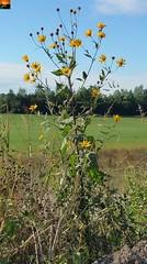 """Flora am Aitrachsee - Flora at the Aitrachsee - Flore à l'Aitrachsee (warata) Tags: 2018 deutschland germany süddeutschland southerngermany schwaben swabia oberschwaben upperswabia schwäbischesoberland """"badenwürttemberg"""" badenwuerttemberg """"samsung galaxy note 4"""" see lake weiher pond aitrach aitrachsee voir kiesgrube flora pflanzen wildpflanzen"""
