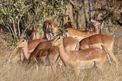 Impalas (Aurélien Latour) Tags: canoneos80 canon kruger safari africa afriquedusud southafrica wildanimals impala