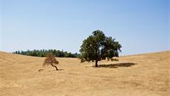 DSC_1668-a5 (stumbleon) Tags: nikondslr nikond7200 amadorcountycalifornia landscape trees california rural countryroads grassland rollinghills