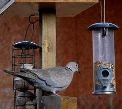 Dove on feeder (jameswoolf118) Tags: dove bird feeder g80 panasonic lumix 1260 garden seed ring ringed knecked wildlife