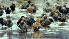 Wild Party. (nyomee wallen) Tags: partypartyparty funfunfun starlings smallbirds thewaterfestival thewaterfestivalofthebirdsworld wetnwild wildparty water