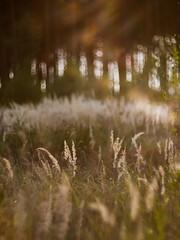 (cнαт-ɴoιr^^) Tags: 2018082813105581 helios85mm15 wald forrest sunset sonnenuntergang trocken flares bokeh bäume arbolitos grass