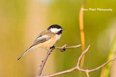 IMG_8734 (nitinpatel2) Tags: bird nature nitinpatel