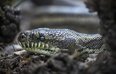 forest floor hunting (gnarlydog) Tags: australia snake closeup portrait shallowdepthoffield subjectisolation manualfocus vintagelens kodakcineektanon102mmf27 texture lowkey notatthezoo wildanimal python