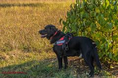 Savin' shadow... (in explore Sept, 17th 2018) - THX FOR ALL YOUR STARS! (Steffi.K.) Tags: rot labradorretriever schwarz wiese hund busch sonne black dog sun shadow bush schatten domestic animal