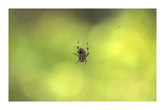 Early fall commoners (static_dynamic) Tags: autumn fall spider arachnid arachnophobia web bokeh insect