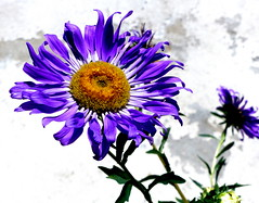 Aster. (andrzejskałuba) Tags: polska poland pieszyce dolnyśląsk silesia sudety europe plant panasoniclumixfz200 roślina kwiat flower aster flora floral blue natura nature niebieski natural natureshot natureworld macro color beautiful brown brązowy zieleń green garden ogród liście leaves