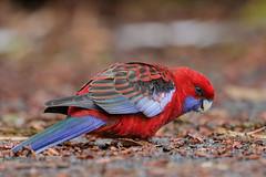 Crimson Rosella (Alan Gutsell) Tags: crimson rosella crimsonrosella parrot lamingtonnationalpark naturephoto alan canon wildlife