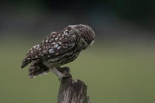 DSC_7391 LITTLE OWL ACTING SHY