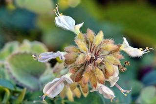 Fleurs de Sauge mode macro sans parfum