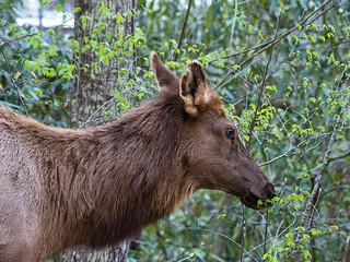 IMGPJ06206C_Fk - Great Smoky Mountain National Park - Elk