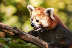 Nat Zoo Red Panda 3-0 F LR 8-26-18 J035 (sunspotimages) Tags: animal animals redpanda redpandas wildlife zoo zoos zoosofnorthamerica nature fonz fonz2018 nationalzoo