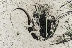 About To Retreat (p) (davidseibold) Tags: america animal california dirt grass jfflickr kerncounty lizard nature painting photosbydavid postedonflickr unitedstates usa windwolvespreserve bakersfield