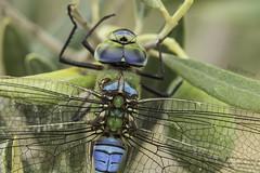 The gearbox (Ricardo Menor) Tags: odonatos odonata anisópteros libélulas dragonflies dragonfly airelibre iluminaciónnatural insecto macrofotografía canon60d anaximperator tórax thegearbox elpinós elpinós2018 2018