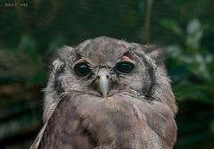 Walsrode, Weltvogelpark, Eule (joergpeterjunk) Tags: walsrode weltvogelpark outdoor tier vogel eule schärfentiefe canoneos50d canonef100400mmf456lisusm