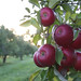 apples on tree with sunlight