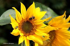 Oog in oog op een zonnebloem (Fabke.be) Tags: zonnebloem sun sunflower yellow insect insects bee bij fly nature eye eyes wings explore inexplore macro canon canon7dmkii canon7dmk2 sigma150600 sigma150600mmc vlieg bloem bloemen geel green groen