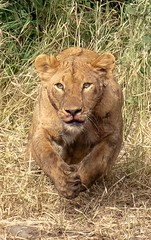 Lioness pounce. Serengeti (Laura Jacobsen) Tags: africa lion lioness lionesshunting predator serengeti tanzania wildlife
