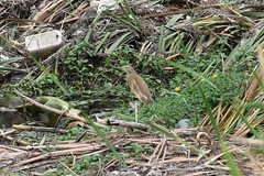 Squacco heron (Ardeola ralloides) (Sky and Yak) Tags: squacco heron ardeola ralloides bird spain nature naturalworld wader