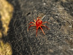 mite_1210577 (jswildlife) Tags: jswildlife lumixgx8 m43 macro raynox250 olympusmacrolens60mmf28 onahandrail oxfordshire invertebrates macroinvertebrates predatorymite mite spidermite acari acariforme redmite arachnidaea