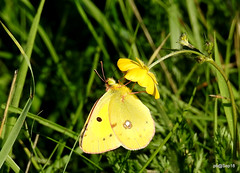 Clouded Yellow. Southern slopes #hwcp. (pete Thanks for 3 Million Views Many thanks to eve) Tags: hwcp bokeh butterfly canon lumix macro moth rebel ruddy darter sympetrum sanguineum common wicked weasel colchestervt clouded yellow southern slopes