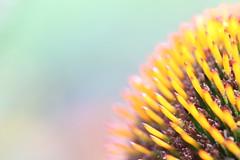 IMG_0042 (kajsch) Tags: purple coneflower macro closeup