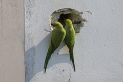 Out of context I (Ava Babili) Tags: bird urbannature parakeet parrot roseringedparakeet athens greece
