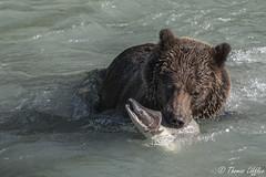 The big catch (funtor) Tags: bear grizzly salmon alaska catch fishing animal wild nature