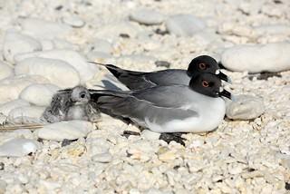 Swallow-tailed Gulls (Creagrus furcatus)