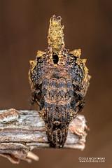 Tree-stump orb weaver (Poltys sp.) - DSC_8872b (nickybay) Tags: africa macro madagascar andasibe treestump orb weaver spider araneidae poltys