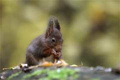 Ecureuil roux (Pascal Photo Passion) Tags: animal rongeur nourriture verdure nature bois forêt