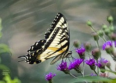 Eastern Tiger Swallowtail. (rumerbob) Tags: pennypackenvironmental pennypacktrust tigerswallowtail easterntigerswallowtail butterfly insect bug nature naturewatcher naturephotography canon7dmarkii canon100400mmlens