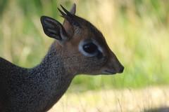 Kirk's Dik Dik (charliejb) Tags: kirksdikdik dikdik mammal hoofed hooved 2018 fur furred furry bristol cribbscauseway horns eye ears wildlife