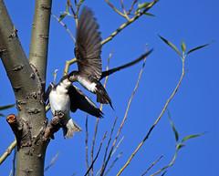 Tree Swallow - Hirondelle bicolore - Tachycineta bicolor (D72_8083-1PE-20180621) (Michel Sansfacon) Tags: hirondellebicolore treeswallow tachycinetabicolor nikond7200 sigma150600mmsports parcnationaldesîlesdeboucherville parcsquébec faune