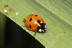Coccinella septempunctata (7-Spot Ladybird) - Guernsey (Nick Dean1) Tags: animalia arthropoda arthropod hexapoda hexapod insect insecta coleoptera coccinellidae ladybug ladybird beetle coccinellaseptempunctata 7spotladybird guernsey channelislands greatbritain