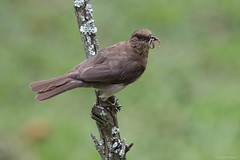 Turdus ignobilis (Wildlife and nature - Colombia) Tags: turdusignobilis mirlaembarradora mayo blackbilledthrush thrush mirla
