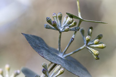 Eucalyptus risdonii (Greenstone Girl) Tags: plants fineday blue flowers australiannatives flora trees eucalyptus risdonii