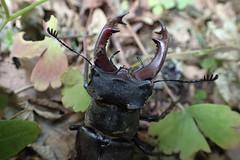 Lucanus cervus - Stag beetle - Lucane cerf-volant   (♂) - 06/07/18 (Philippe_Boissel) Tags: lucanuscervus lucanecerfvolant stagbeetle coleoptera coleoptère lucanidae lucaninae insecte insects europe france bretagne morbihan pluneret 1596 ♂