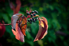 be different (A.K. 90) Tags: green red plant flower blumen beere blue leaf blatt blätter sonyalpha6000 e18135mmf3556oss grün rot sunlight sun light nature natur makro blume