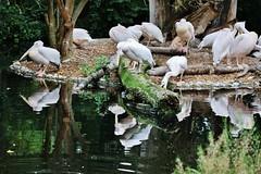 Birds (Hugo von Schreck) Tags: hugovonschreck bird vogel pelikan canoneos5dsr tamronsp150600mmf563divcusda011