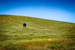 Lonesome Cow (CDay DaytimeStudios w/1,000,000 views) Tags: bluesky ca california eastbay hills mountdiablo mountdiablostatepark sanfranciscobayarea trees wildflowers woodland