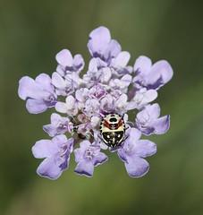Bug nymph (iainrmacaulay) Tags: bug nymph france