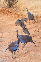 Samburu National Reserve @ 2018.8.23 (viwes) Tags: animal guineafowl
