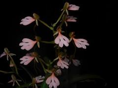 Habenaria erichmichelii (Rusty Exotics Orchids) Tags: habenaria erichmicheli species bloom flower gradient pink terrestrial orchid rhodocheila cardinals roost