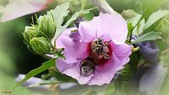 Hochbetrieb an Hibiskusblüte (Günni 52) Tags: 2018 blüten hibiskus insekten natur strauch