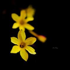 Just you / 我只在乎你 (still_shotz) Tags: yellow closeups flowers washingtondc