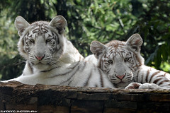 Two white tiger cubs - Zoo Amneville (Mandenno photography) Tags: dierentuin dierenpark dieren animal animals zoo zooamneville ngc france frankrijk tiger tijger tigers tijgers white whitetiger tigercub