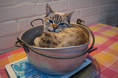 The Cat and the Cauldron (charliejb) Tags: esmé pet cat feline 2018 kitten bristol westburyontrym fur furry furred