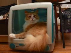 Jimmy-approved. (rootcrop54) Tags: jimmy orange ginger tabby male longhair longhaired imac cat bed bondi blue turquoise neko macska kedi 猫 kočka kissa γάτα köttur kucing gatto 고양이 kaķis katė katt katze katzen kot кошка mačka gatos maček kitteh chat ネコ cc100 cc700